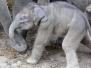 Elefanten (Geburt)