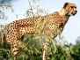 Leoparden, Panther, Luchse,...