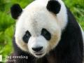 Pandabären (1)