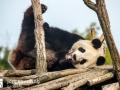 Pandabären (10)
