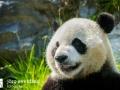 Pandabären (11)