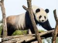 Pandabären (2)