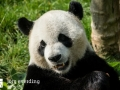 Pandabären (3)