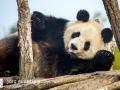 Pandabären (4)