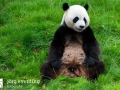 Pandabären (5)