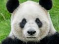 Pandabären (6)