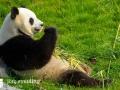 Pandabären (7)