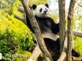 Pandabären (8)