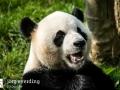 Pandabären (9)